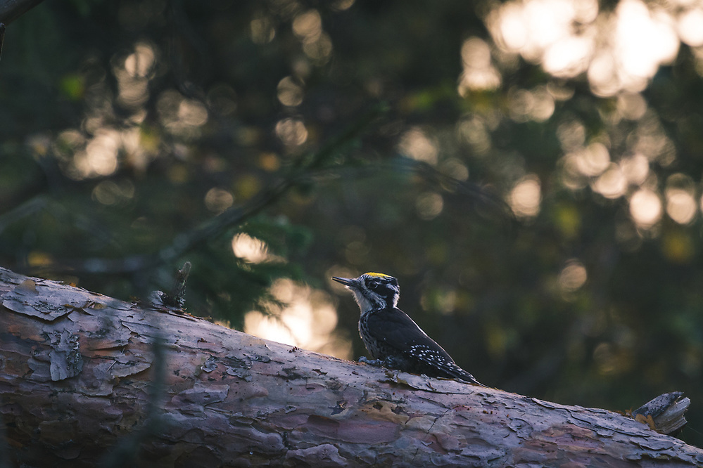 Three-toed Woodpecker (Picoides tridactylus) on fallen pine tree in evening, Gauja National Park (Gaujas Nacionālais parks), Latvia Ⓒ Davis Ulands | davisulands.com (Davis Ulands/Ⓒ Davis Ulands | davisulands.com)