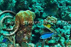 Blue Chromis, Chromis cyanea, (Poey, 1860), and Yellowhead Wrasse, Halichoeres garnoti (Valenciennes, 1839), Grand Cayman (StevenWSmeltzer.com)