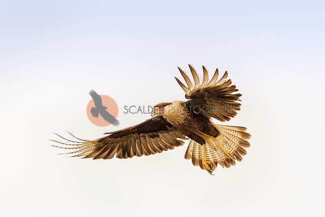 Crested Caracara landing with primary feathers and tail feathers spread (sandra calderbank)
