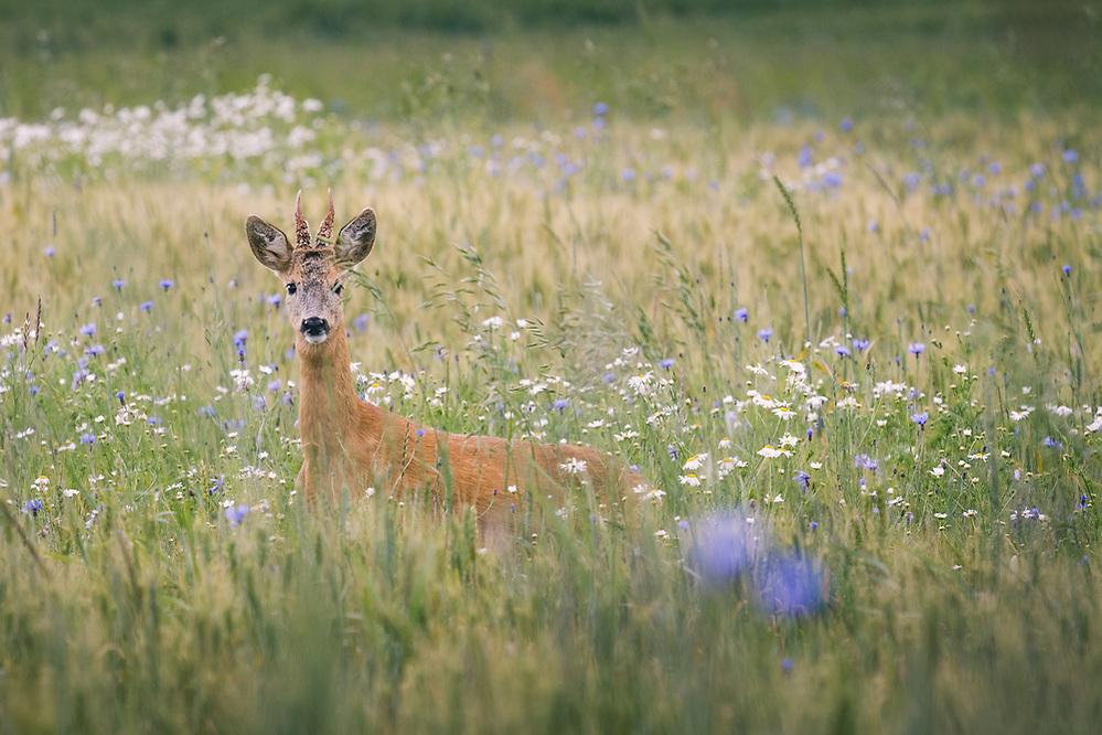 Roe deer (Capreolus capreolus) buck crossing wheat fields with blooming cornflowers, Kurzeme, Latvia Ⓒ Davis Ulands | davisulands.com (Davis Ulands/Ⓒ Davis Ulands | davisulands.com)