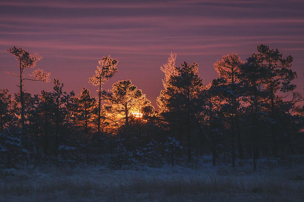 A group of frost covered scots pines (Pinus sylvestris) in raised bog against rising sun and dark clouds, Kemeri National Park (Ķemeru Nacionālais parks), Latvia Ⓒ Davis Ulands | davisulands.com (Davis Ulands/Ⓒ Davis Ulands | davisulands.com)