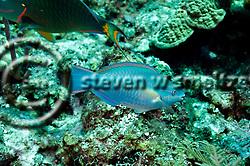 Princess Parrotfish, Scarus taeniopterus, Desmarest, 1831, Grand Cayman (Steven W Smeltzer)