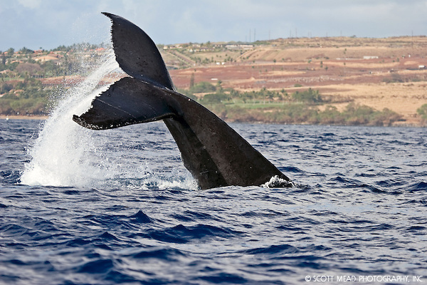 Photo~Zen: Whale Watching Kauai – Pacific Humpback Whale Tail