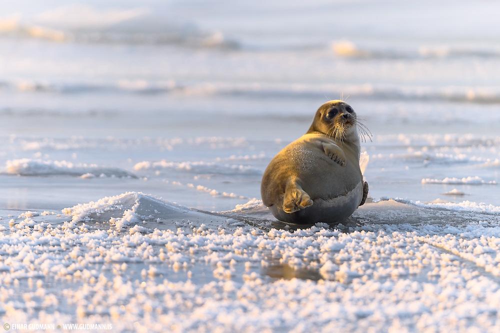 Ringed seal (Phoca hispida)