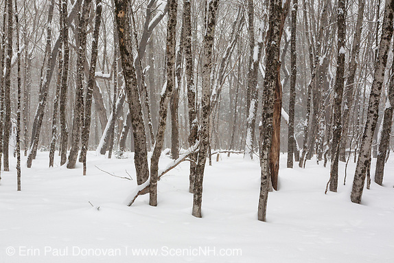 Winter forest scenes in the area of the old Passaconaway Settlement in Albany, New Hampshire during the winter months.