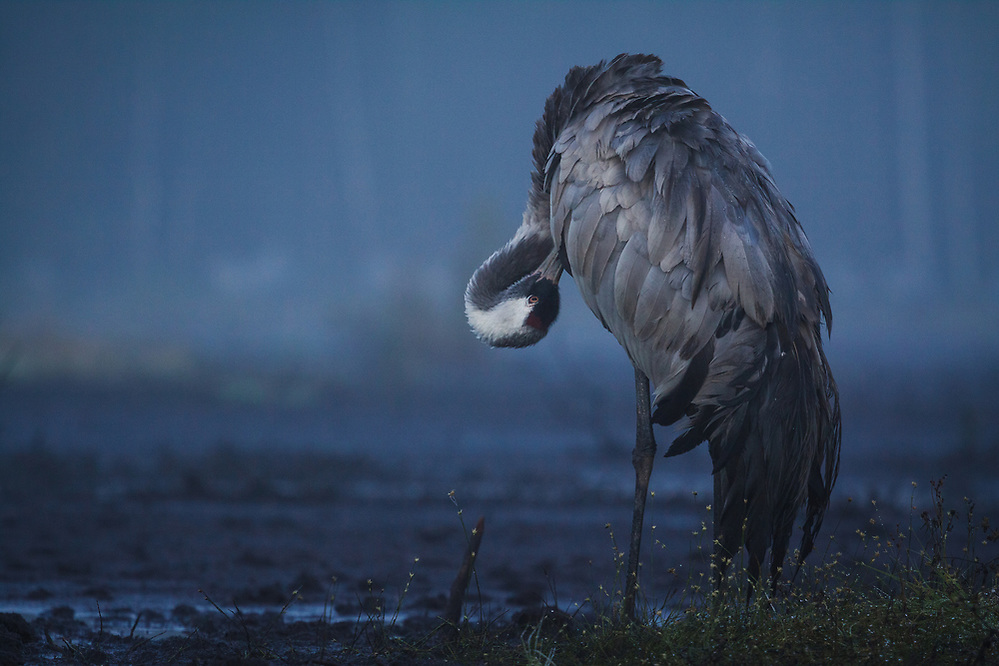 Common crane (Grus grus) in early morning taking care of its feathers, Ķemeri National Park, Latvia Ⓒ Davis Ulands | davisulands.com (Davis Ulands/Ⓒ Davis Ulands | davisulands.com)