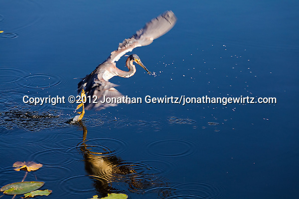 A Tricolored Heron (Egretta tricolor) flies away after catching a small fish in Everglades National Park, Florida. (© 2012 Jonathan Gewirtz / jonathan@gewirtz.net)