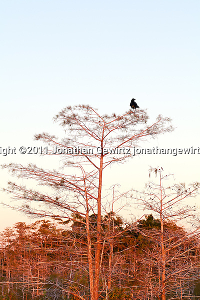 The morning sun's rays wash over a crow perched in one of a group of dwarf bald cypress trees in Everglades National Park, Florida. (Jonathan Gewirtz   www.jonathangewirtz.com)