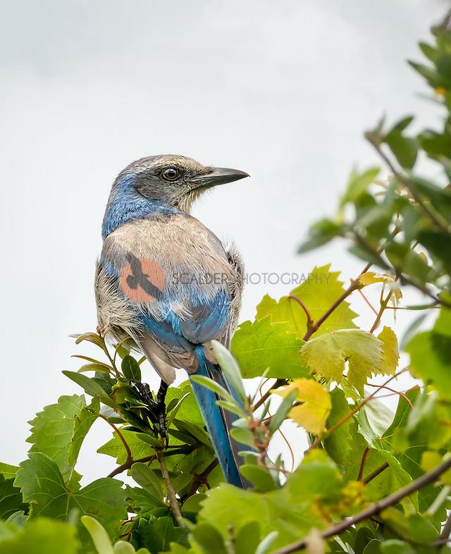 Florida Scrub Jay perched in leafy tree (Sandra Calderbank, sandra calderbank)