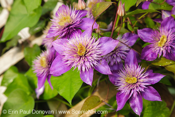 Clematis flowers during the summer months at  Prescott Park in Portsmouth, New Hampshire USA.