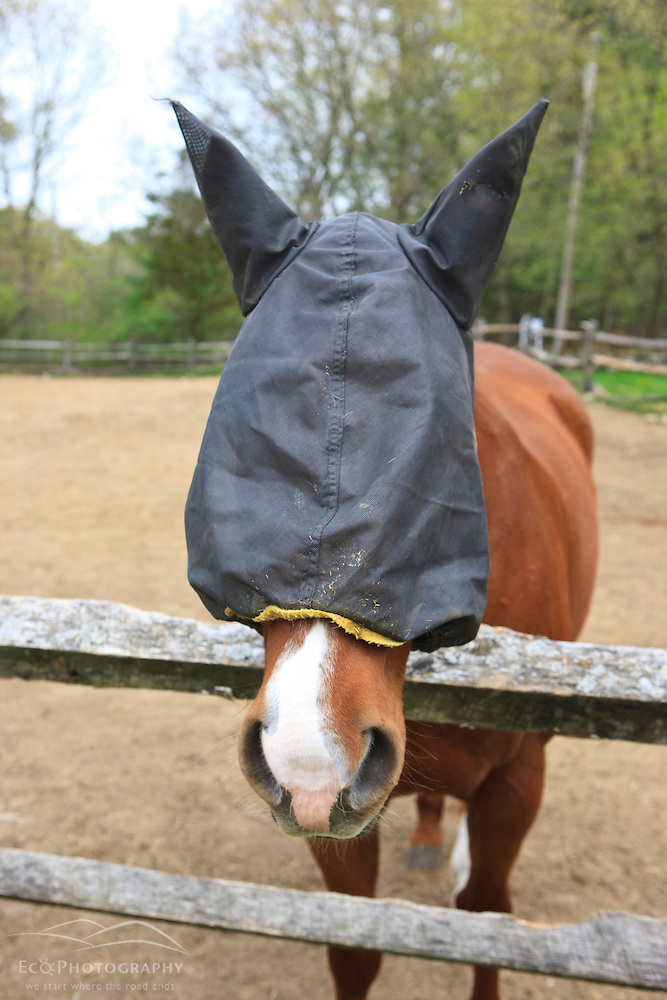 A horse wears a headnet to ward off black flies at Windrush Farm in North Andover and Boxford, Massachusetts. (Jerry and Marcy Monkman)