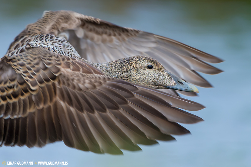 The common Eider is very common bird in Iceland as the name suggests. (Einar Gudmann)