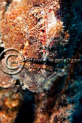Frogfish Closeup, Carthaginian, Maui Hawaii (Steven W SMeltzer)