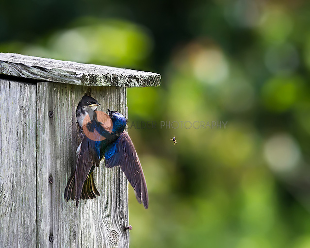 Adult Tree Swallow attempting to feed nestling at nest box, insect is dropping from adult's beak (Sandra Calderbank, sandra calderbank)