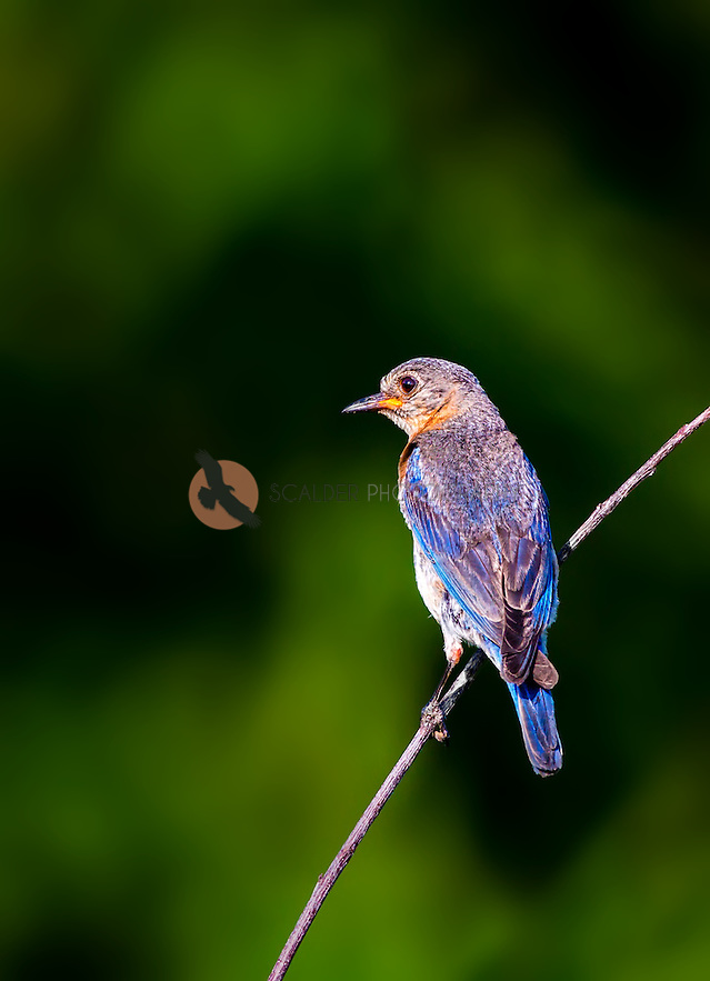 Eastern Bluebird perched on branch in evening sun (SandraCalderbank, sandra calderbank)