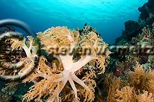 Menjangan Island Soft Tree Coral, Lemnalia cervicornis, Bali Indonesia (Steven W SMeltzer)
