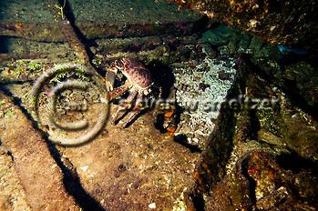 Channel Clinging Crab, Oro Verde, Shipwreck, Grand Cayman (Steven Smeltzer)