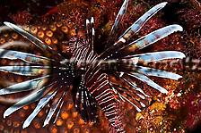 Lionfish, Pterois volitans, Grand Cayman (StevenWSmeltzer.com)