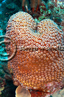 Great Star Coral, Montastraea cavernosa, Grand Cayman (StevenWSmeltzer.com)