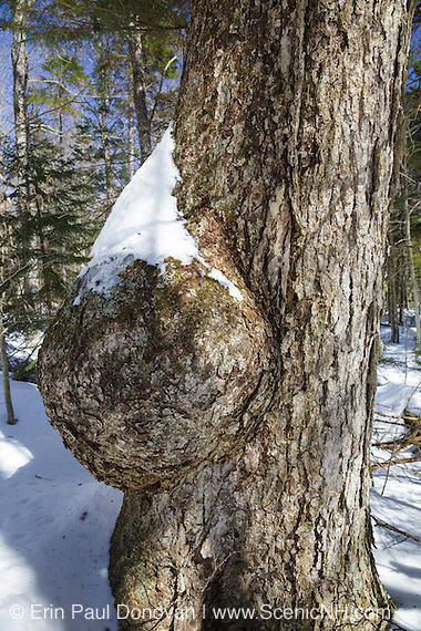 Tree burl on an old yellow birch tree in the White Mountains of New Hampshire.