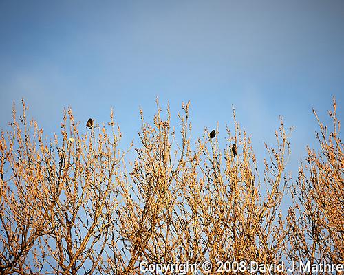 European Starling. (David J Mathre)