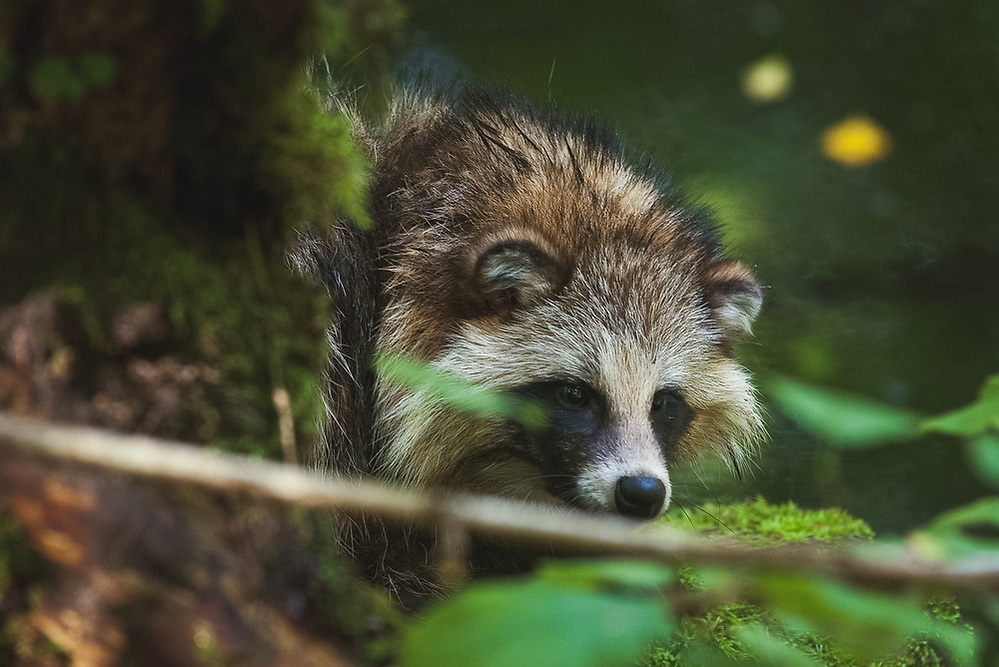 Racoon dog (Nyctereutes procynoides) near river Iesala, Northern Vidzeme, Latvia Ⓒ Davis Ulands | davisulands.com (Davis Ulands/Ⓒ Davis Ulands | davisulands.com)