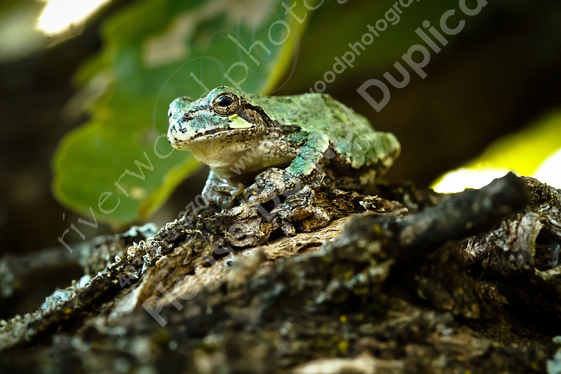 There are always tree frogs to be found near the cottage.  This one normally lives in the umbrella on the deck...©2010, Sean Phillips.http://www.RiverwoodPhotography.com (Sean Phillips)