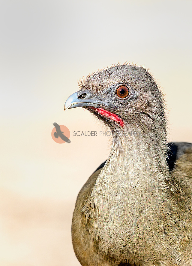 Close view of face of a Plain Chachalaca (sandra calderbank)