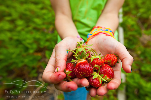 A hand full of strawberries at Heron Pond Farm in South Hampton, New Hampshire. (Jerry and Marcy Monkman)