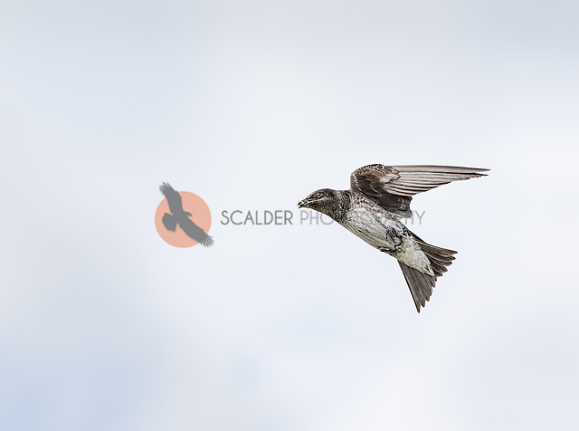 Female Purple Martin in flight with bug in beak (SandraCalderbank, sandra calderbank)