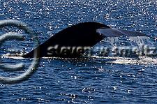 Blue Whale, Balaenoptera musculus, Dana Point, California (Steven W Smeltzer)