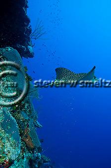 Spotted Eagle Ray, Aetobatus narinari, Grand Cayman (StevenWSmeltzer.com)