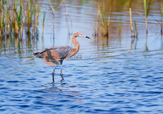Reddish Egret in breeding plumage, standing in water (Sandra Calderbank, sandra calderbank)