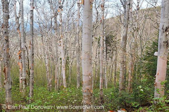 Birch forest on the side of Mount Hale  along the abandoned  Fire Warden's Trail in the White Mountains, New Hampshire.