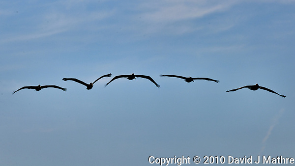 Brown Pelicans in Flight. (David J Mathre)
