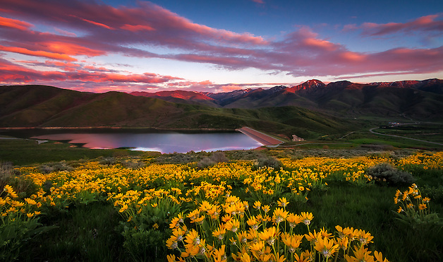 A blanketed hillside of yellow balsomroot, aka mule ear, wildflowers at sunset in East Canyon of the Wasatch Mountains near Salt Lake City, Utah.  Wildflowers in Spring provide a great landscape photography subject. (Clint Losee)