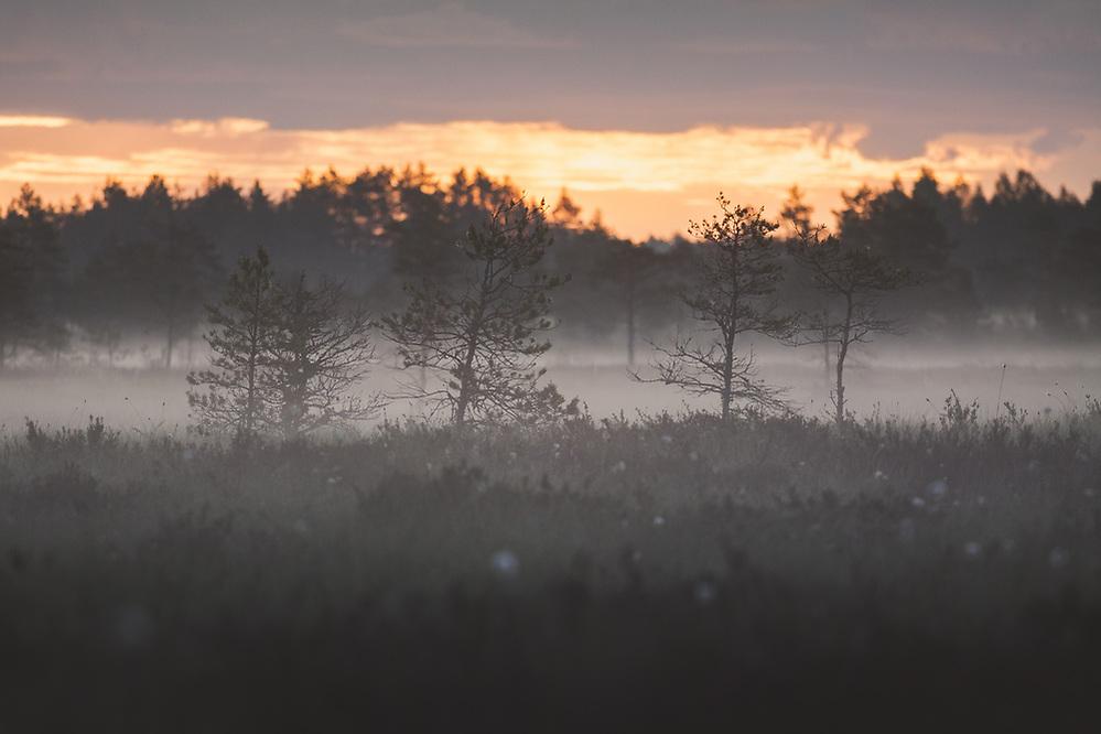 Foggy grey morning in raised bog with few small scots pines (Pinus sylvestris) in front, Vidzeme, Latvia Ⓒ Davis Ulands | davisulands.com (Davis Ulands/Ⓒ Davis Ulands | davisulands.com)