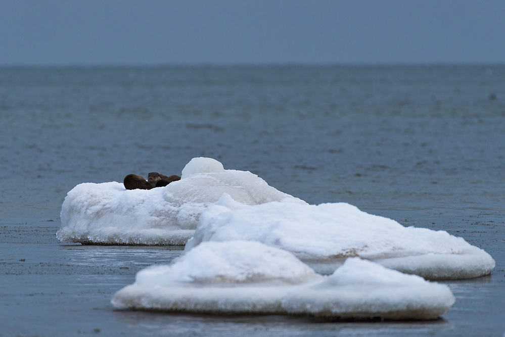 A group of three otters (Lutra lutra) rests atop some ice covered stone in shallow sea waters, Kaltene Seacoast, Kurzeme, Latvia Ⓒ Davis Ulands | davisulands.com (Davis Ulands/Ⓒ Davis Ulands | davisulands.com)