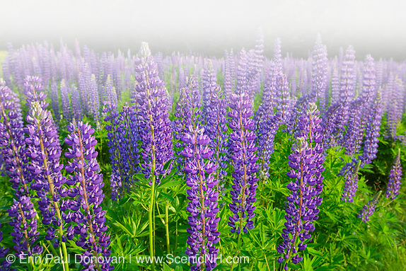 Sugar Hill Lupine Festival - Lupine in Sugar Hill, New Hampshire USA during the spring months, foggy conditions (Erin Paul Donovan   ScenicNH.com Photography)