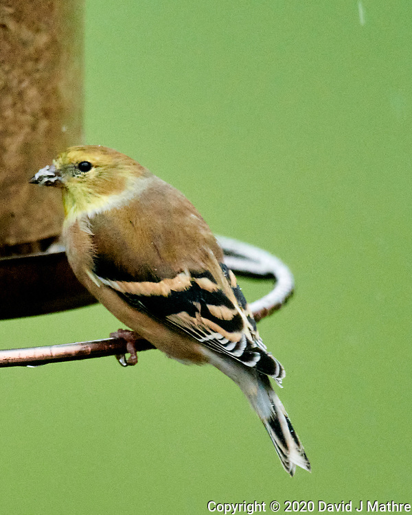American Goldfinch. (David J Mathre)