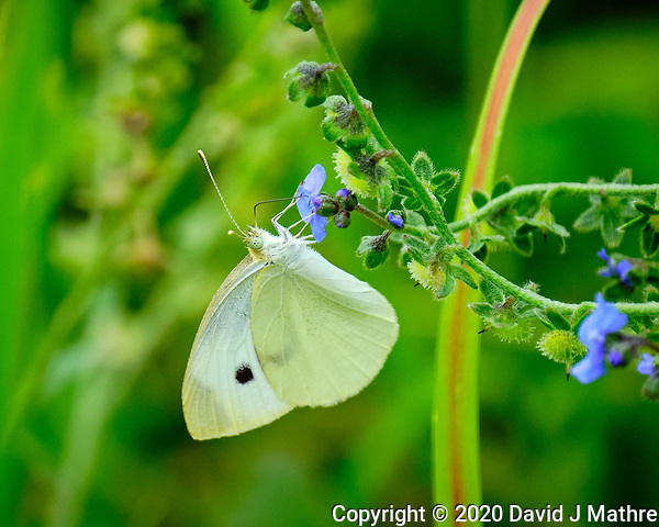 Cabbage White butterfly. Image taken with a Fuji X-H1 camera and 100-400 mm OIS lens (DAVID J MATHRE)
