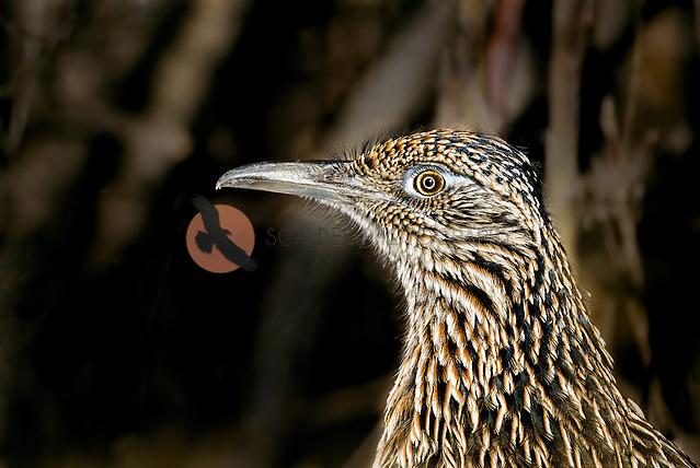 Close image of a Greater Roadrunner face (Sandra Calderbank, sandra calderbank)