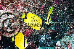 Milletseed Butterflyfish, Chaetodon miliaris, Quoy & Gaimard, 1824,  Molokai Hawaii (Steven W SMeltzer)