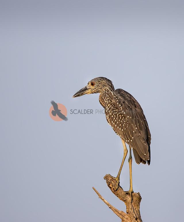 Juvenile Yellow-Crowned Night-Heron perched on dead limb in evening light (SandraCalderbank, sandra calderbank)