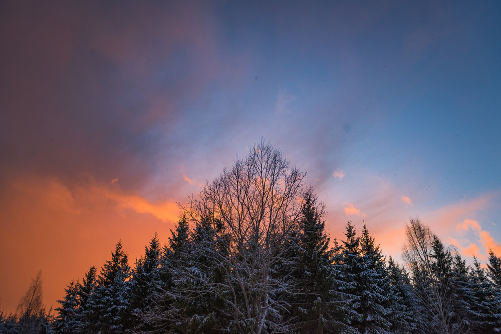 Incoming spring snowstorm at sunset over young spruce stand and lone maple, Nīcgale, Latvia Ⓒ Davis Ulands | davisulands.com (Davis Ulands/Ⓒ Davis Ulands | davisulands.com)