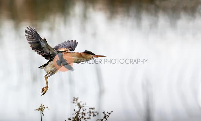 Least Bittern taking off in flight in rain at Viera Wetlands (SandraCalderbank, sandra calderbank)