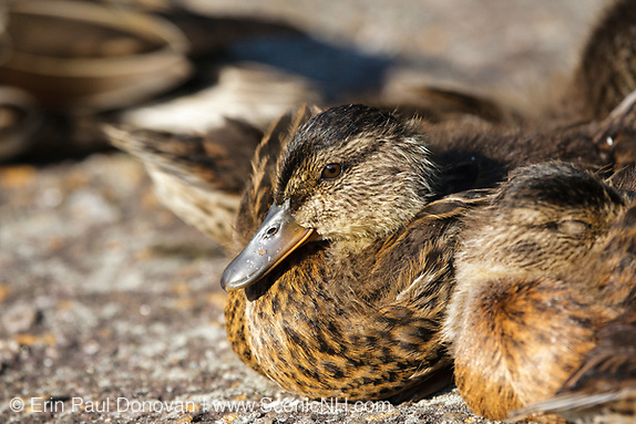Kinsman Notch - Family of mallard ducks at Beaver Pond in the White Mountains of New Hampshire