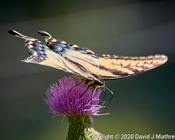 Eastern Tiger Swallowtail butterfly. Image taken with a Nikon N1V3 camera and 70-300 mm VR lens (DAVID J MATHRE)