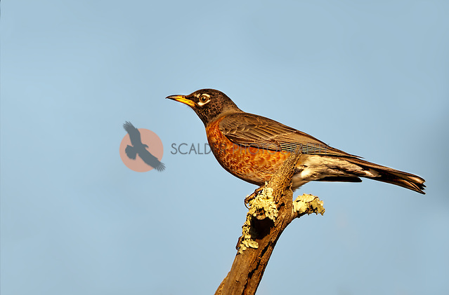 Female American Robin perched on branch against blue sky (sandra calderbank)
