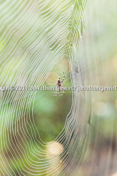 A Nephila clavipes orb-weaver spider in its web in the Florida Everglades. (Jonathan Gewirtz)